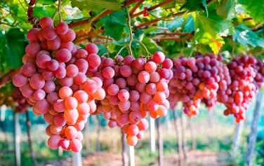 new-homeslider-grapes1